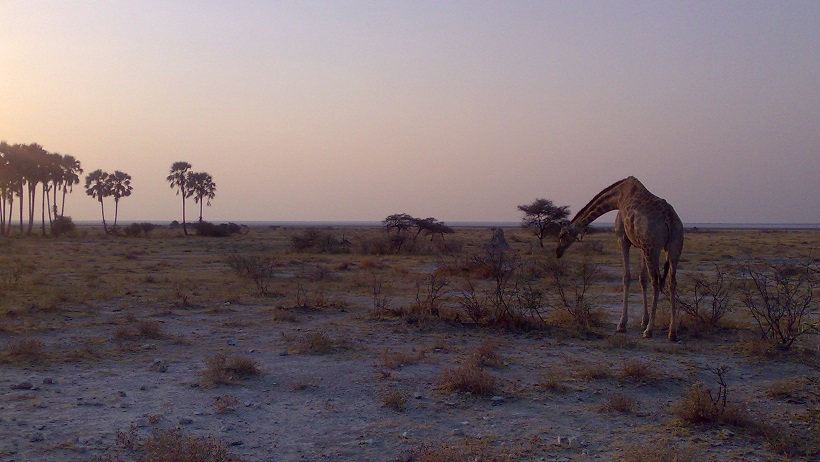 Giraffe in a hot (dry) steppe (Namibia)